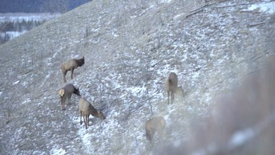 4K Elk herd grazing on grass in snow steep hill, Wider shot, Pan - NOT Colour Corrected