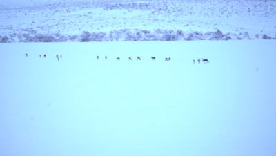4K Caribou herd walking over Tundra in northern Canada - NOT Colour Corrected