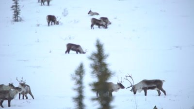 4K Caribou herd thru trees grazing on Tundra in northern Canada - NOT Colour Corrected