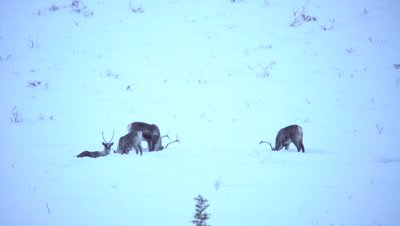 4K Caribou herd forging thru snow on Tundra in northern Canada - NOT Colour Corrected