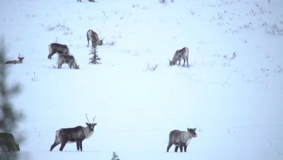 4K Caribou herd pan across forging thru snow on Tundra in northern Canada - NOT Colour Corrected