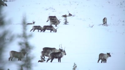 4K Caribou herd thru trees forging thru snow on Tundra in northern Canada - NOT Colour Corrected
