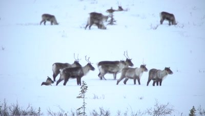 4K Caribou pan across trees forging thru snow on Tundra, Alpha male/Buck battles another male - NOT Colour Corrected