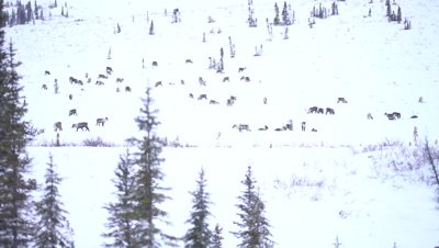 4K Caribou pan across trees forging thru snow on Tundra, Wide Shot - NOT Colour Corrected