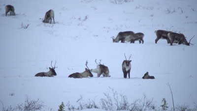 4K Caribou forging thru snow for grass on Tundra - NOT Colour Corrected