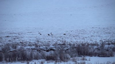 4K Caribou herd in snow on Tundra, wide Shot, zoom out - NOT Colour Corrected