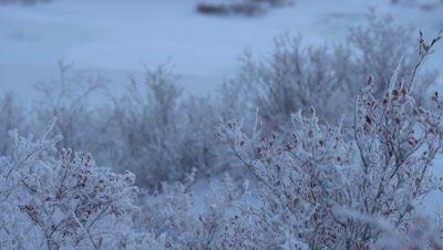 4K rack focus frozen winter berry bush - NOT Colour Corrected