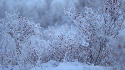4K rack focus frozen winter berry bush, tight shot - NOT Colour Corrected