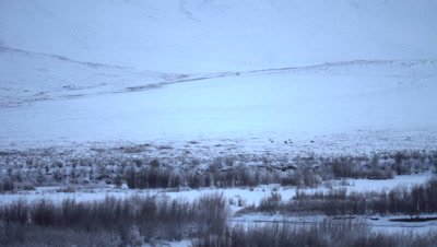 4K caribou lying on snow, pan across start of Tundra, wide shot - NOT Colour Corrected