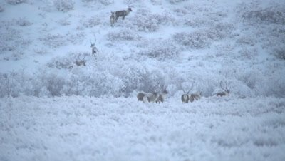 4K caribou herd walking thru brush, some climb up hill, start of Tundra - NOT Colour Corrected