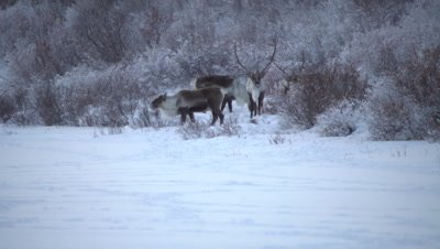 4K caribou forging for food in snow on Tundra, Long Lens, Hand Held - NOT Colour Corrected