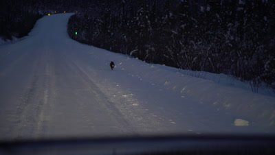 4K Red Fox running down snow covered road in arctic, hand held, long lens - NOT Colour Corrected