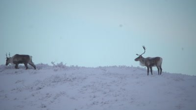 4K caribou two forging for food in snow top of hill in Tundra, pan - NOT Colour Corrected