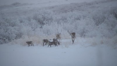 4K caribou herd forging for food in snow on Tundra, pan - NOT Colour Corrected