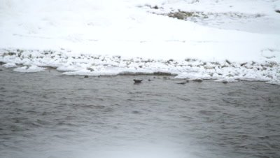 4K Rusty Black Bird in icy creek under water - SLOG2 NOT Colour Corrected