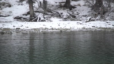 4K Rusty Black Bird in icy creek under water, wider shot - SLOG2 NOT Colour Corrected