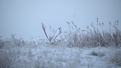 4K Caribou Male/Buck lying down behind snow/ice hill, antlers - NOT Colour Corrected
