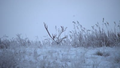 4K Caribou Male/Buck lying down behind snow/ice hill, Turns antlers - NOT Colour Corrected