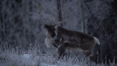 4K Caribou Male/Buck walking up slight hill grazing on grass thru snow, tighter shot - NOT Colour Corrected