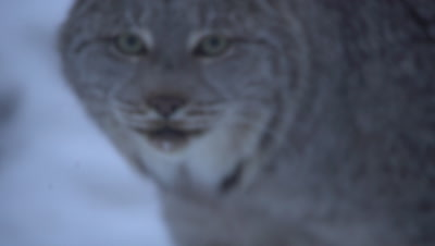 4K Lynx stops to look at camera, exists frame - NOT Colour Corrected