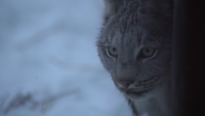 4K Lynx peaks around tree trunk in snow, Close Up - NOT Colour Corrected