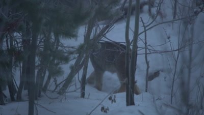 4K Lynx walking away through forest in snow - NOT Colour Corrected