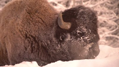 4K wood bison lying in snow chewing, steam from breathe, winter colours, Close Uo - NO Colour Correction