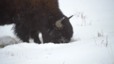 4K wood bison two forging for grass in snow, pan to second then exits frame, Close Up - NO Colour Correction