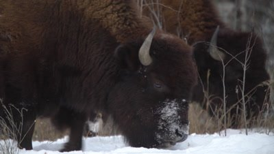 4K Wood Bison two forging for grass in snow, second exits frame, Close Uo - NO Colour Correction