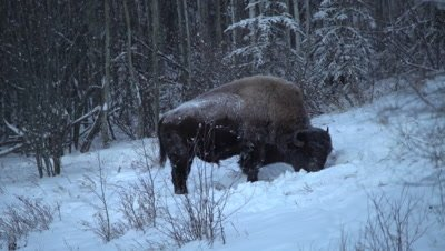 4K wood bison forging in snow on hillside, pan to several, winter colours, in darkness - NO Colour Correction