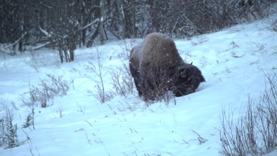 4K wood bison forging in snow on hillside, winter colours, in darkness - NO Colour Correction