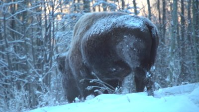 4K wood bison forging in snow, walks away, winter colours, in darkness - NO Colour Correction