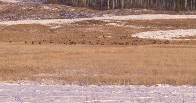 4K Elk herd grazing in winter Northern Canada - NOT Colour Corrected