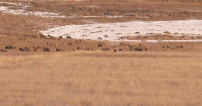 4K Elk herd pan across them grazing in winter Northern Canada - NOT Colour Corrected