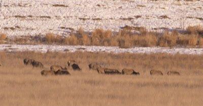 4K Elk herd pan across them grazing in winter, Tighter Shot,  Northern Canada - NOT Colour Corrected