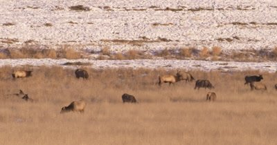 4K Elk herd pan with male/buck walking thru them grazing in winter, Tighter Shot,  Northern Canada - NOT Colour Corrected
