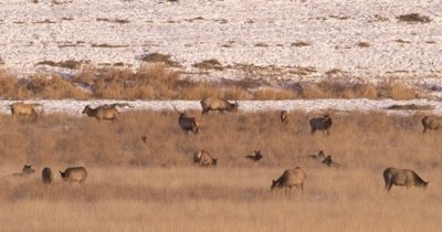 4K Elk male/buck walking in middle herd grazing in winter, Tighter Shot,  Northern Canada - NOT Colour Corrected