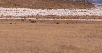 4K Elk herd sitting/resting in dry grassy field, Wide Shot pan - NOT Colour Corrected