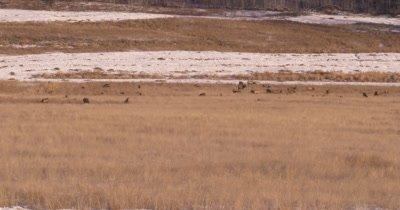 4K Elk herd sitting/resting in dry grassy field, Wide Shot - NOT Colour Corrected