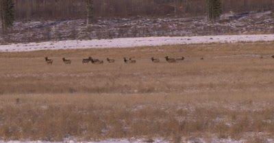 4K Elk herd pan as they walki in dry grassy field - NOT Colour Corrected