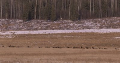 4K Elk herd pan as they walk in dry grassy field, Wide Shot - NOT Colour Corrected