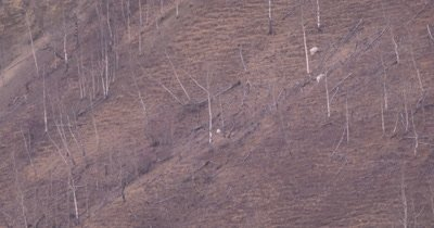 4K Mountain Goats three grazing on steep hill side tilt down to Elk grazing below in Northern Canada during winter - NOT Colour Corrected