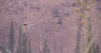 4K Elk two grazing on steep hillside tilt up to Mountain goats grazing above Northern Canada in winter - NOT Colour Corrected