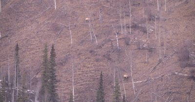 4K Elk two grazing on steep hillside Norther Canada in winter - NOT Colour Corrected