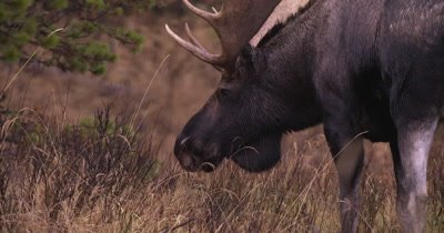 4K Moose Male/Buck eating grass Slow Motion, Autumn Colours - NOT Colour Corrected