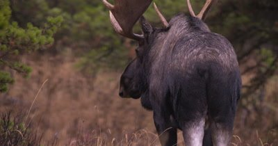 4K Moose Male/Buck eating grass Slow Motion, Exits frame, Autumn Colours - NOT Colour Corrected