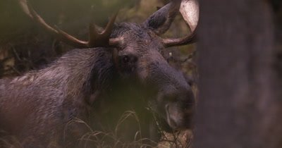 4K Moose Male/Buck laying down in trees watching, Autumn Colours - NOT Colour Corrected