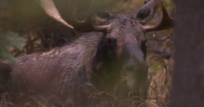 4K Moose Male/Buck laying down in trees, turns to watch other moose, Autumn Colours - NOT Colour Corrected