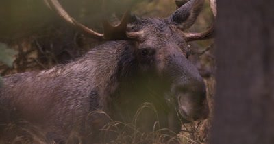 4K Moose Male/Buck laying down in trees, turns to camera, Autumn Colours - NOT Colour Corrected