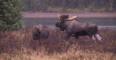 4K Moose male/buck pursues female crossing, licking and sniffing, Autumn Colours - NOT Colour Corrected